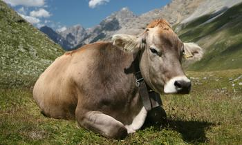Swiss Braunvieh breed in the Engadin